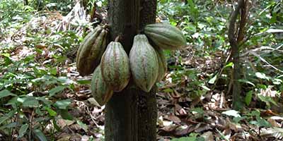 How cacao tree